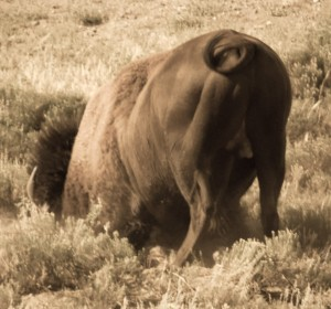 Bison Butt