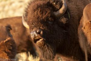 Bison Flehming Response