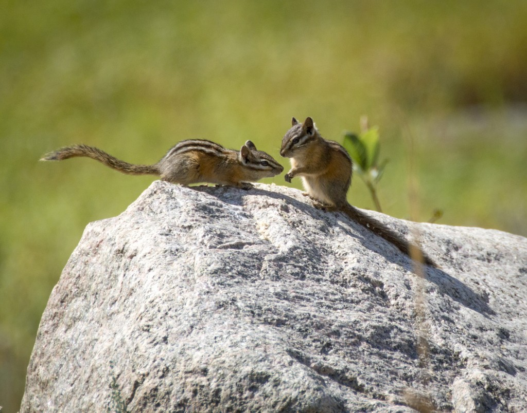 Uinta Chipmunk Greetings_Creley