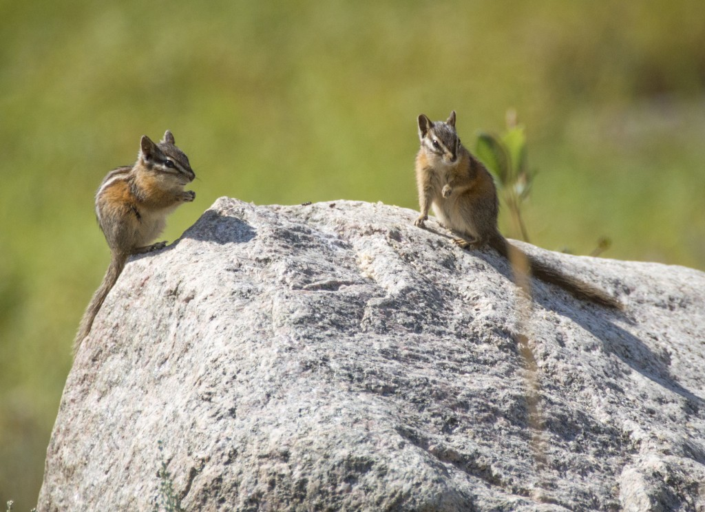 Uinta Chipmunks_Creley