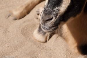 goat living desert