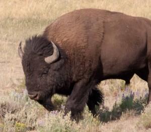 Bison 3