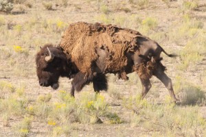 Shedding bison