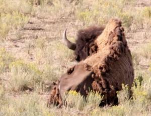 Skinny bison 2