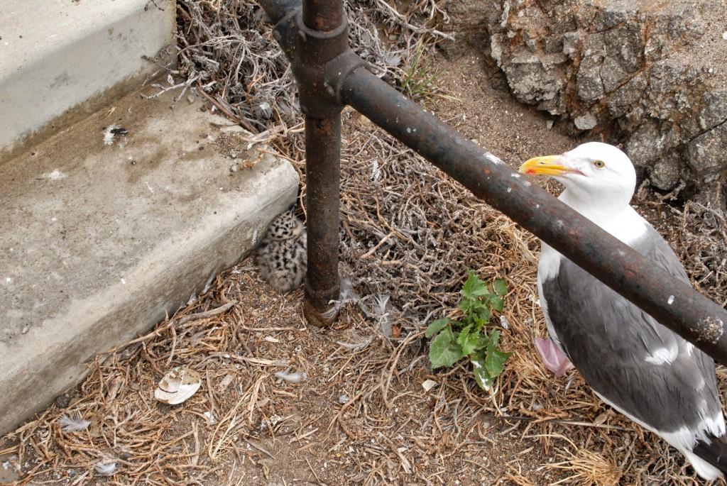 Anacapa Island Seagull Rookery