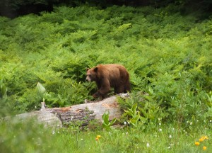 Cinnamon Colored Black Bear