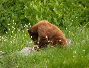 Mother Bear Tears Into a Log- Long Meadow
