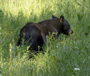 Bear Eating 2