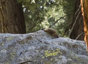 Hunkering Marmot