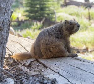 Marmot cute