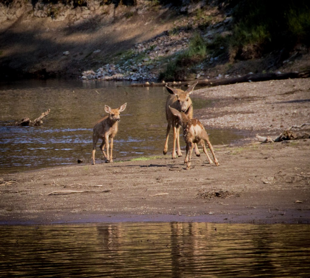 Deer with two Fawns Buffalo Creek- The Sniff_Creley