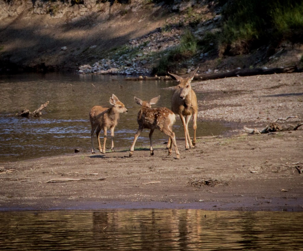Deer with two Fawns Buffalo Creek_Creley