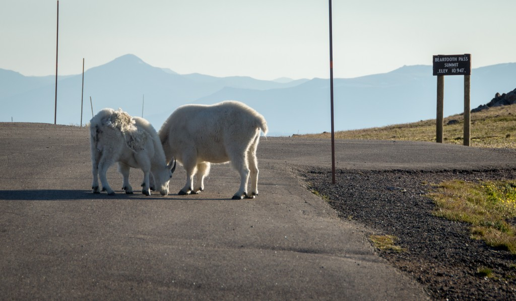 Mountain Goats in Road Beartooth Pass-13