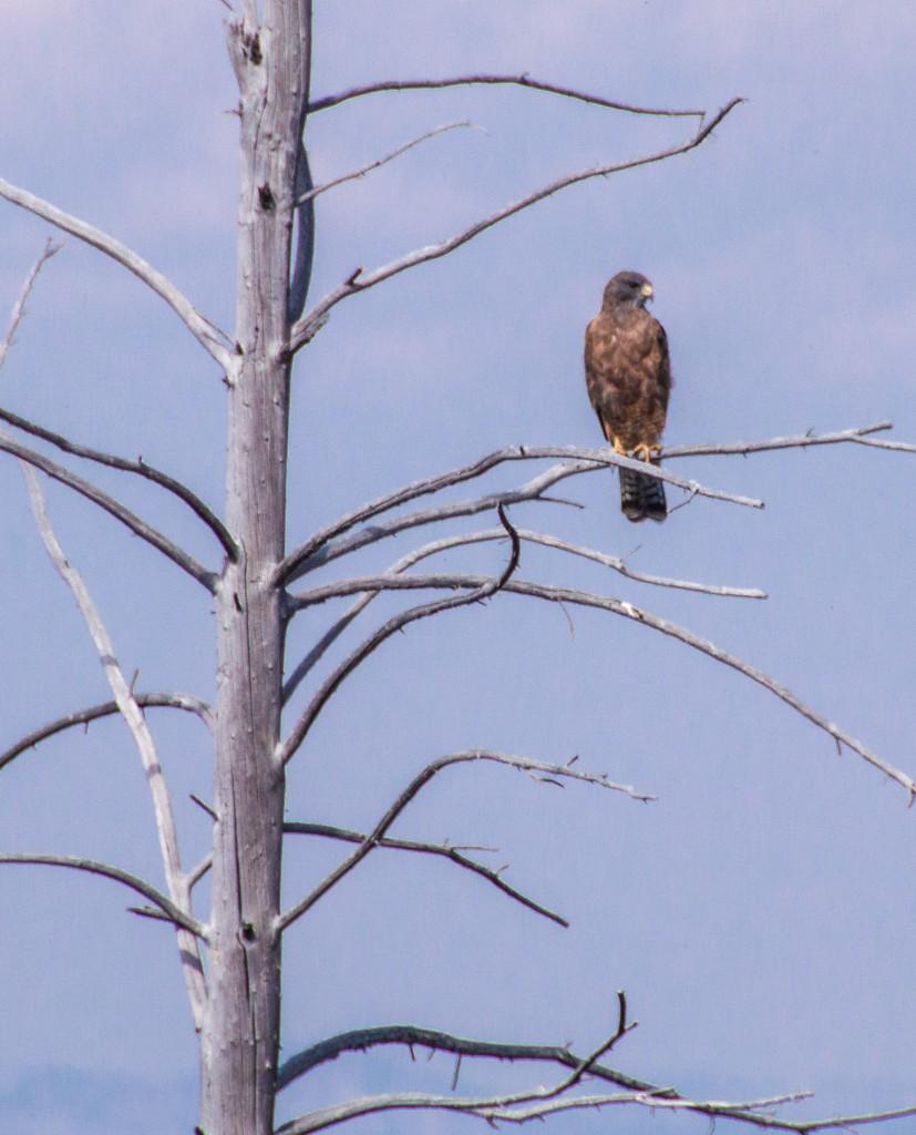 Swainson's Hawk Dark Morph-2